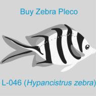 Buy Zebra Pleco